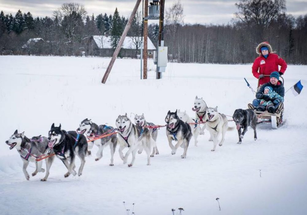 Sled dogs in Rapla County